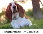 basset hound dog with big ears... | Shutterstock . vector #742580515