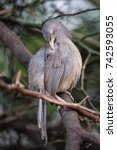 Small photo of Jungle babbler (Turdoides striata) sitting on a tree in Keoladeo Ghana National Park, Bharatpur, India. The park was declared a protected sanctuary in 1971 and it is also a World Heritage Site.