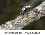 Small photo of Chalk-fronted corporal dragonfly, Ladona julia , perched on a branch in the swamp at Mud Pond in Sunapee, New Hampshire.