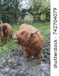 Small photo of Highland cow moo'ing in mud