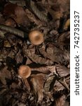 Jack O Lantern Mushrooms ...