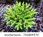 Green Millepora Acropora  Sps...