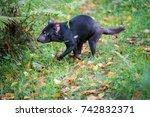 Tasmanian Devil Trying To...
