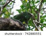 wild green iguana on a tree. | Shutterstock . vector #742880551