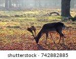A Deer Feeding At Dunham Masse...