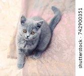 gray british cat with amber... | Shutterstock . vector #742900351