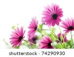 Closeup Of Daisy Flower Shallo...