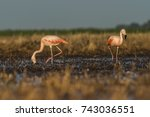 flamingos  patagonia argentina   Shutterstock . vector #743036551