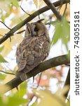 northern long eared owl in a... | Shutterstock . vector #743055181