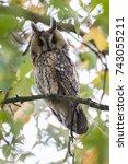 northern long eared owl in a... | Shutterstock . vector #743055211
