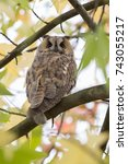 northern long eared owl in a... | Shutterstock . vector #743055217