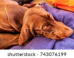 dog with sad yellow eyes. sad... | Shutterstock . vector #743076199