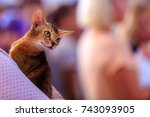the abyssinian is a breed of... | Shutterstock . vector #743093905