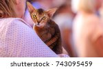 abyssinian cat looking into... | Shutterstock . vector #743095459