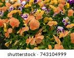 orange violets. flowerbed of... | Shutterstock . vector #743104999