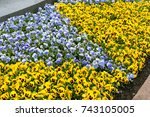 yellow and purple violets.... | Shutterstock . vector #743105005