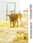 Small photo of Tunisia. Sahara Desert. Addax (or antelope measures)