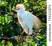 a male cattle egret perching in ... | Shutterstock . vector #743121874