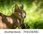 Small photo of Caracal Resting In Afternoon Shade, Medium Size African Wild Cat