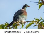 new zealand wood pigeon rests... | Shutterstock . vector #743169391