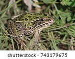 Northern Leopard Frog In The...