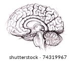 human brain sagittal view medical sketchy illustration - stock photo