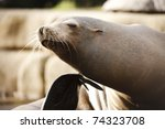 Relaxed Sea Lion Scratching Hi...