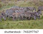 zebras  serengeti  herd of... | Shutterstock . vector #743297767