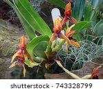 Small photo of Maxillaria Praestans