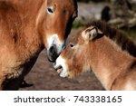 przewalski's horses  mother...   Shutterstock . vector #743338165