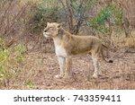 lion from kruger national park  ... | Shutterstock . vector #743359411