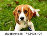 Beautiful Portrait Of Beagle...