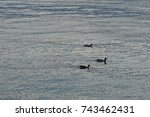 goose family is swimming in... | Shutterstock . vector #743462431