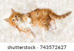 Stock photo small red striped kitty maine coon looks 743572627