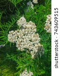 Small photo of white Inflorescence of white yarrow flowers in summer.