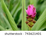 siam tulips blooming in the... | Shutterstock . vector #743621401