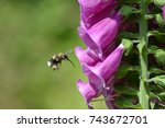 A Bumble Bee Approaching A...