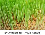 Sprouted Wheat Seeds  Closeup
