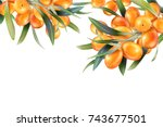 sea buckthorn isolated on the... | Shutterstock .eps vector #743677501