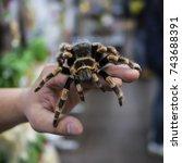 Big Spider Tarantula Sits...
