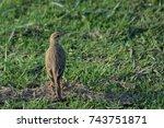 pipit bird in the field | Shutterstock . vector #743751871