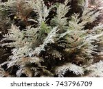 tree. conifer. natural old... | Shutterstock . vector #743796709