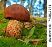 Small photo of suillellus luridus mushroom, known as the lurid bolete