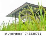 Small photo of Insects and rice plants within the farm