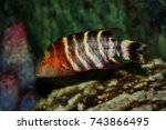 Small photo of Colorful of ornamental marine fish. The Redbreasted wrasse, banded wrasse, Cheilinus fasciatus ,Labridae family, is one of the popular fish to show in marine aquarium tank.