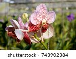close up beautiful orchid... | Shutterstock . vector #743902384