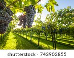 grape harvest | Shutterstock . vector #743902855