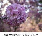 prunus serrulata or japanese... | Shutterstock . vector #743922169