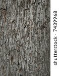 Small photo of bark on an old silver maple (acer saccharinum) trunk background