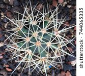 Top View Of Ferocactus With...
